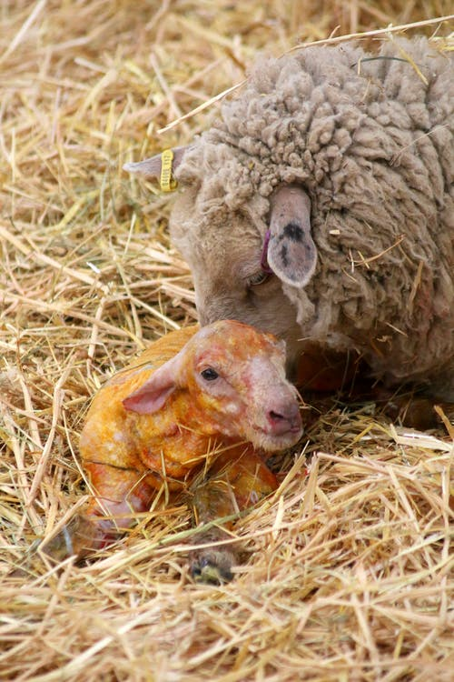 Gratis lagerfoto af baby lam, får, lam, nyfødt får