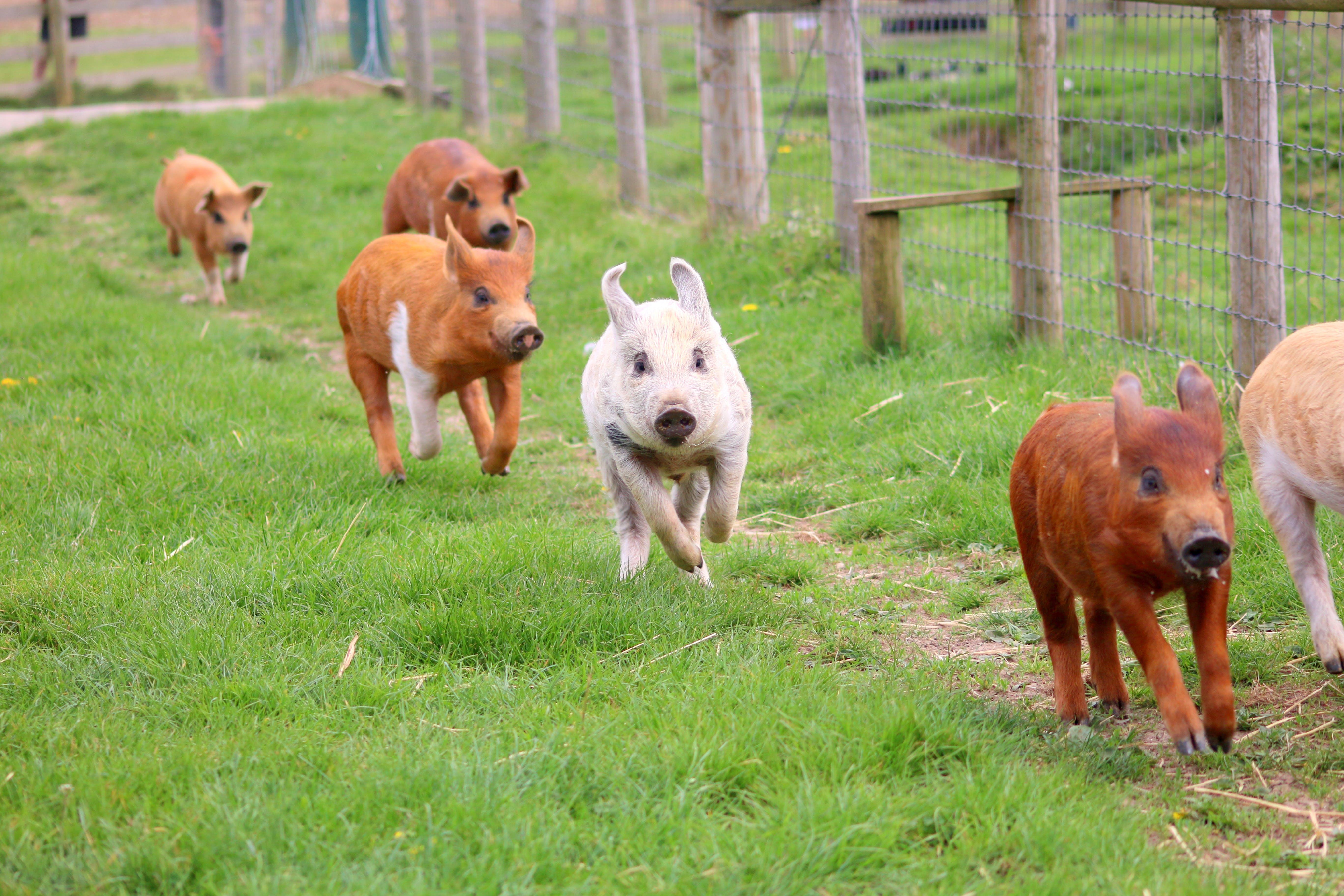 Foto d'estoc gratuïta de execució de porcs, granja, guardiola, piggies