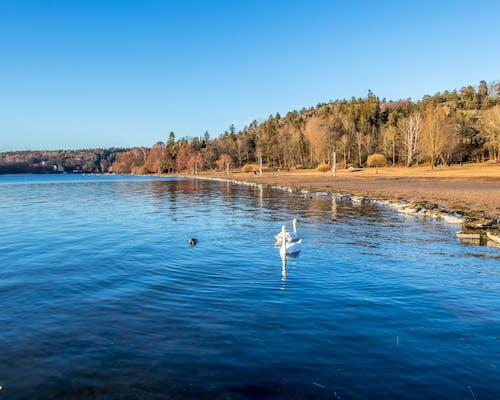 Základová fotografie zdarma na téma bílá labuť, jaro, jezero, kachny