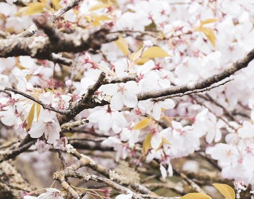 Darmowe zdjęcie z galerii z abstrakcyjne tło, bukiet kwiatów, drzewa, kwiat wiśni
