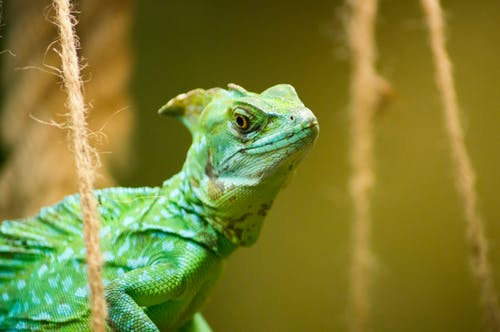 Shallow Focus Photography of Green iguana