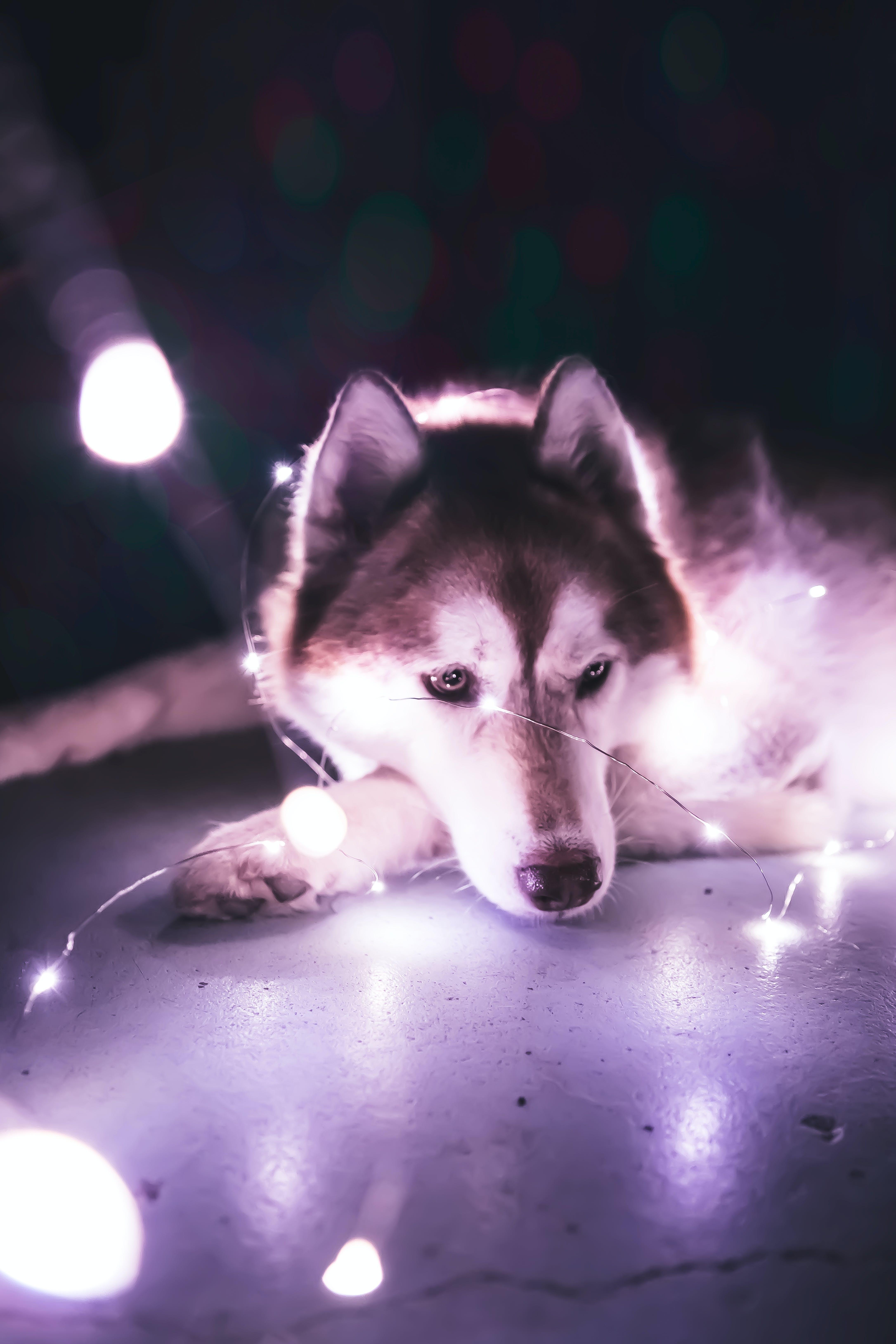 Kostnadsfri bild av eskimåhund, hund, lynnig, porträtt