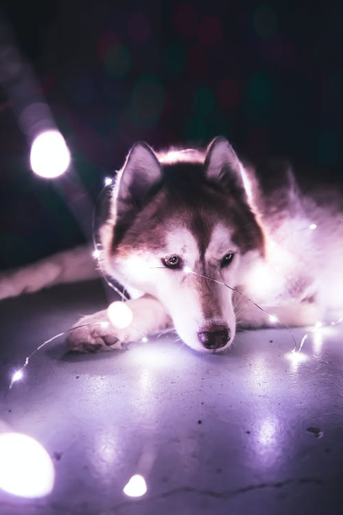 dog, husky, low light