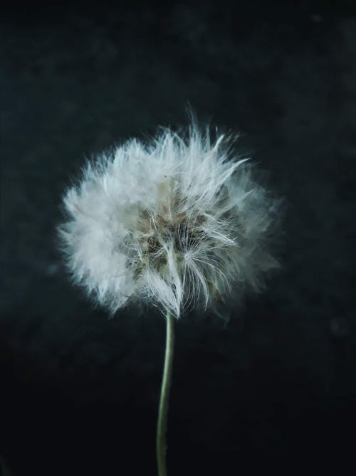 Close-Up Photo of a White Dandelion