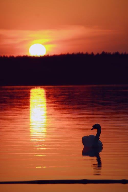 Ingyenes stockfotó állat, arany horizont, erdő, esti nap témában