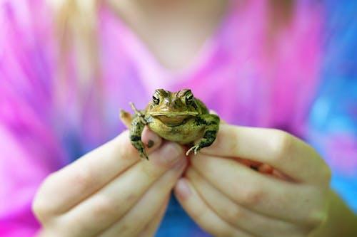 Free stock photo of amphibians, blue, frog