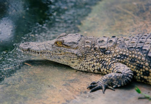 Photo of Crocodile