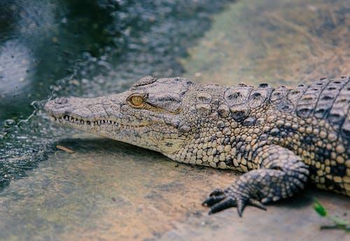 Fotobanka sbezplatnými fotkami na tému detailný záber, divý, fotografie zvierat žijúcich vo voľnej prírode, krokodíl