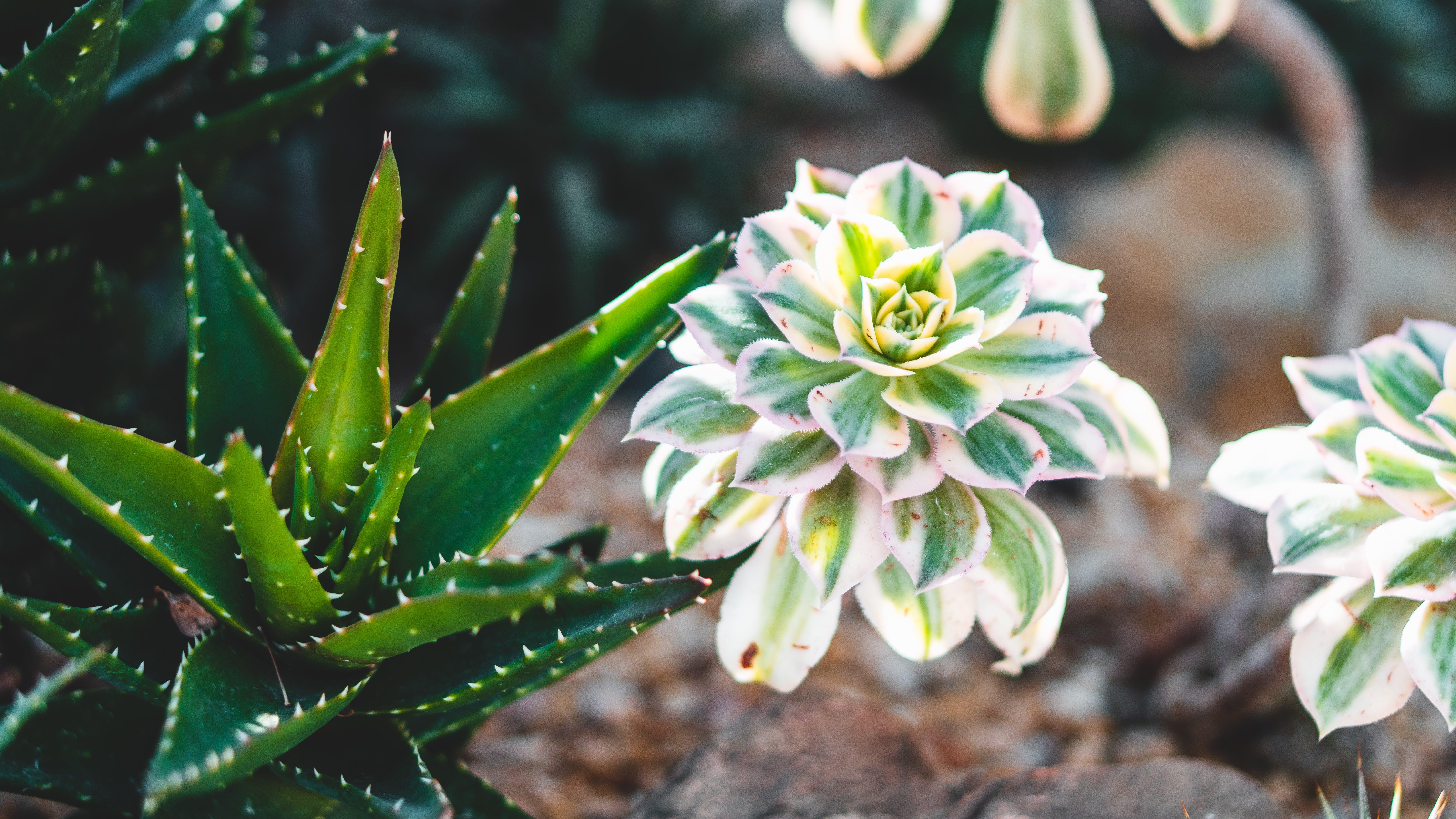 仙人掌, 仙人掌植物, 刺, 增長 的 免費圖庫相片