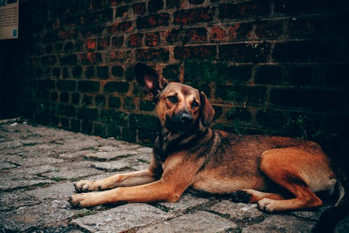 Photo of Brown Dog Lying Beside Brick Wall