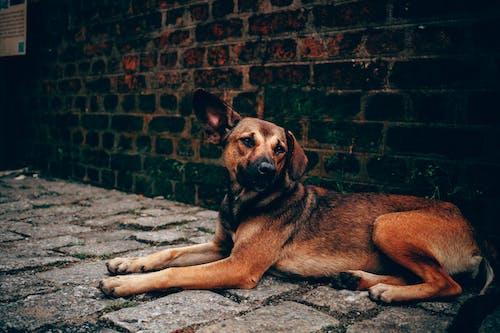 Darmowe zdjęcie z galerii z brązowy, ceglana ściana, leżący, pies