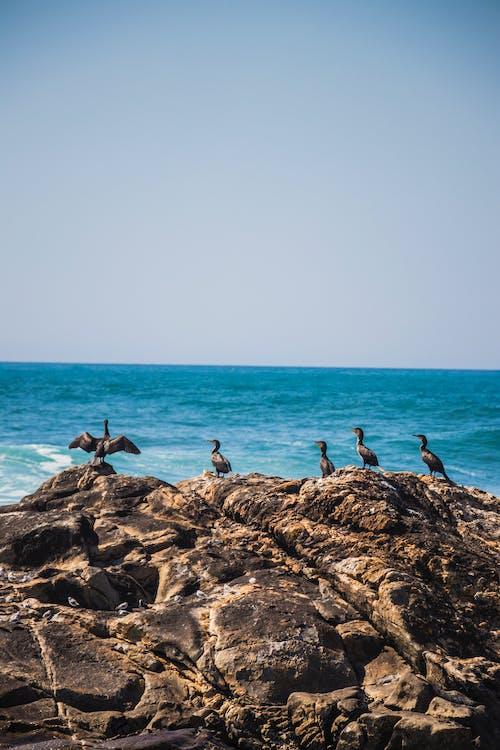 Immagine gratuita di #sea #crows #portugal #wings #birds #nature #wild