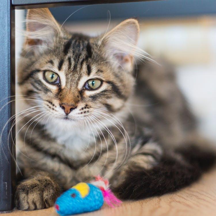 Free stock photo of cat, cat face, kitten
