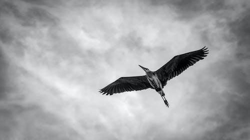 Fotobanka sbezplatnými fotkami na tému čierna a biela, nad hlavou, obloha, volavka
