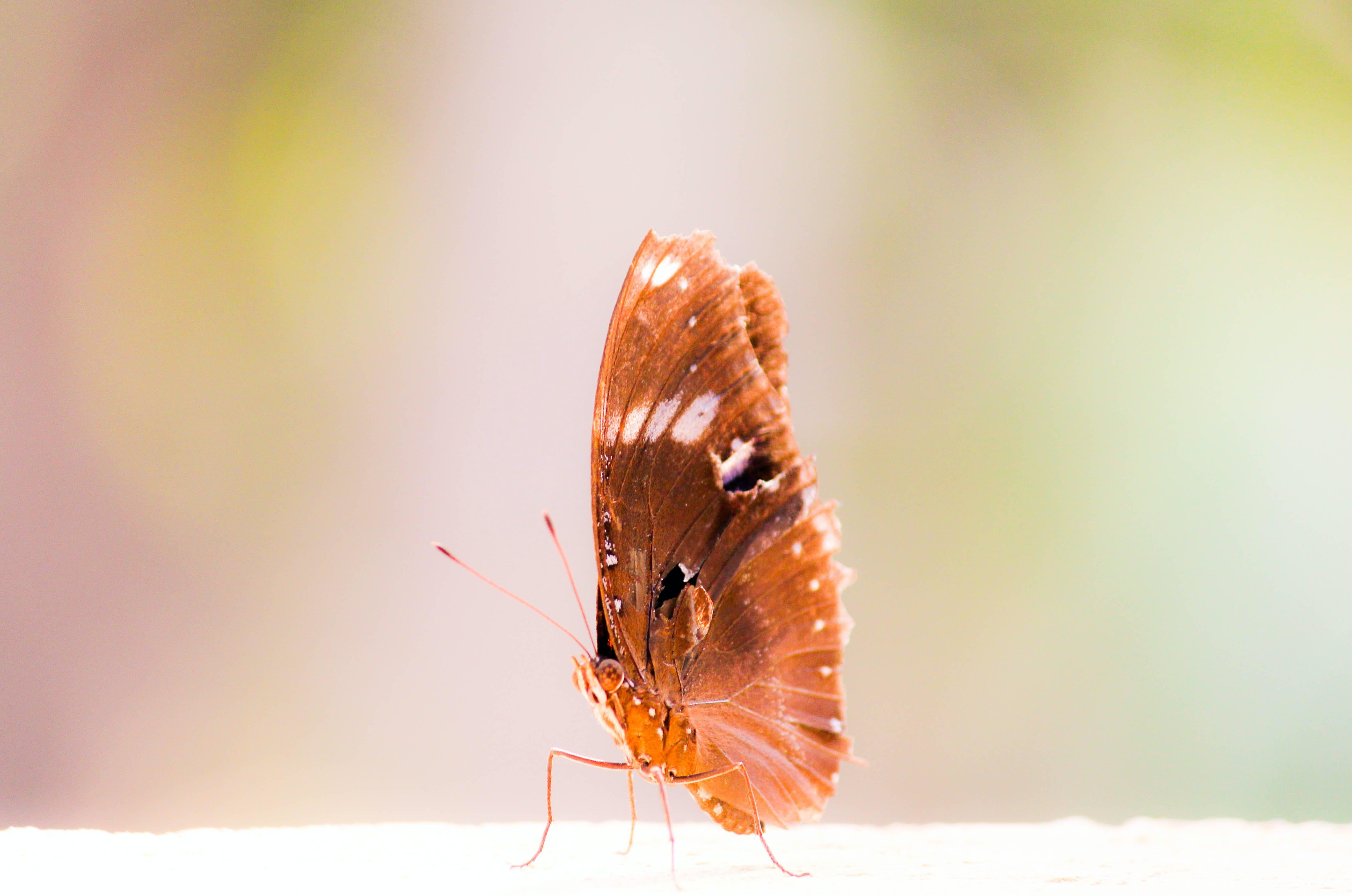 Foto d'estoc gratuïta de animal, bitxo, insecte, papallona
