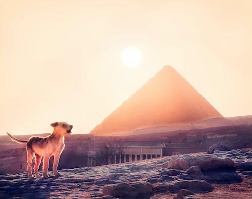 Photos gratuites de caire, chien, chien qui aboie, coucher de soleil