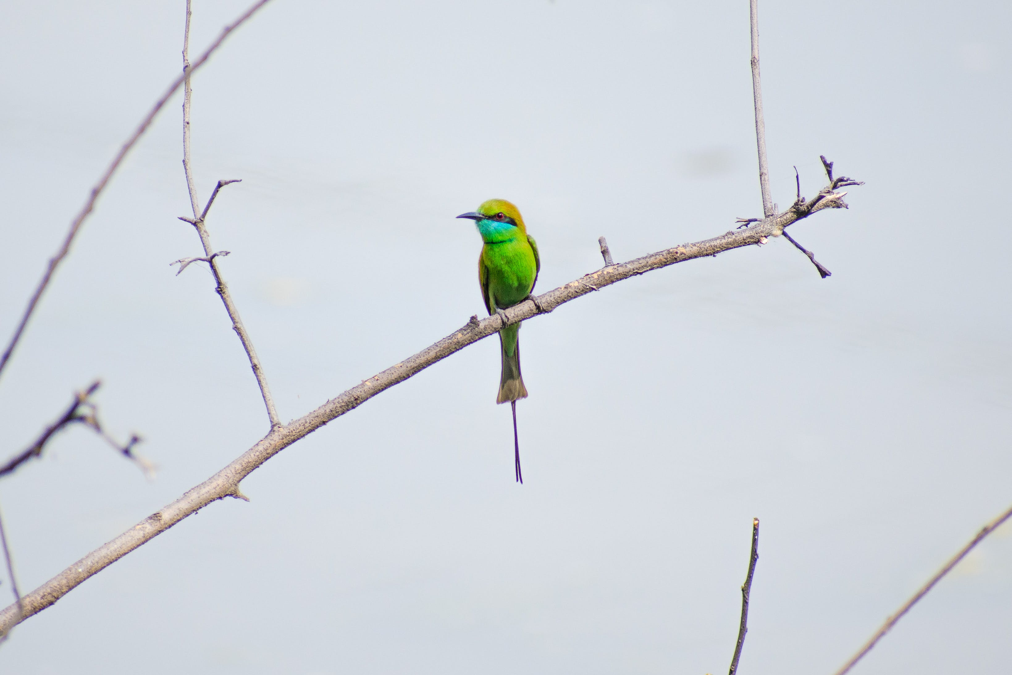 Photo of Green Bee-eater Perched on Branch