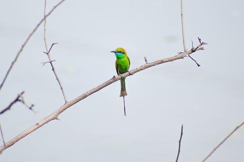 分公司, 分枝, 動物, 棲息的鳥 的 免費圖庫相片