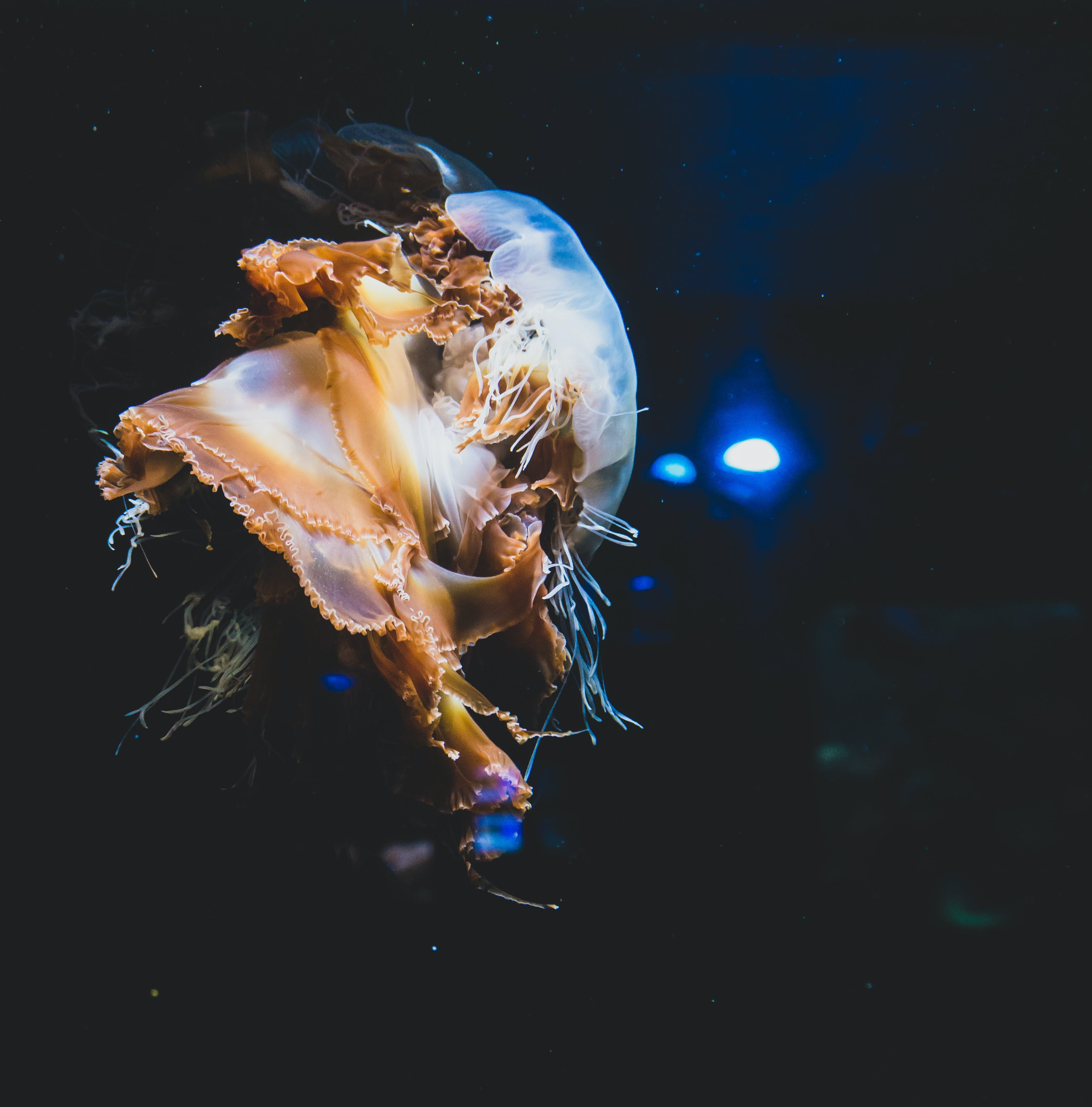 Selective Focus Photography of Jelly Fish