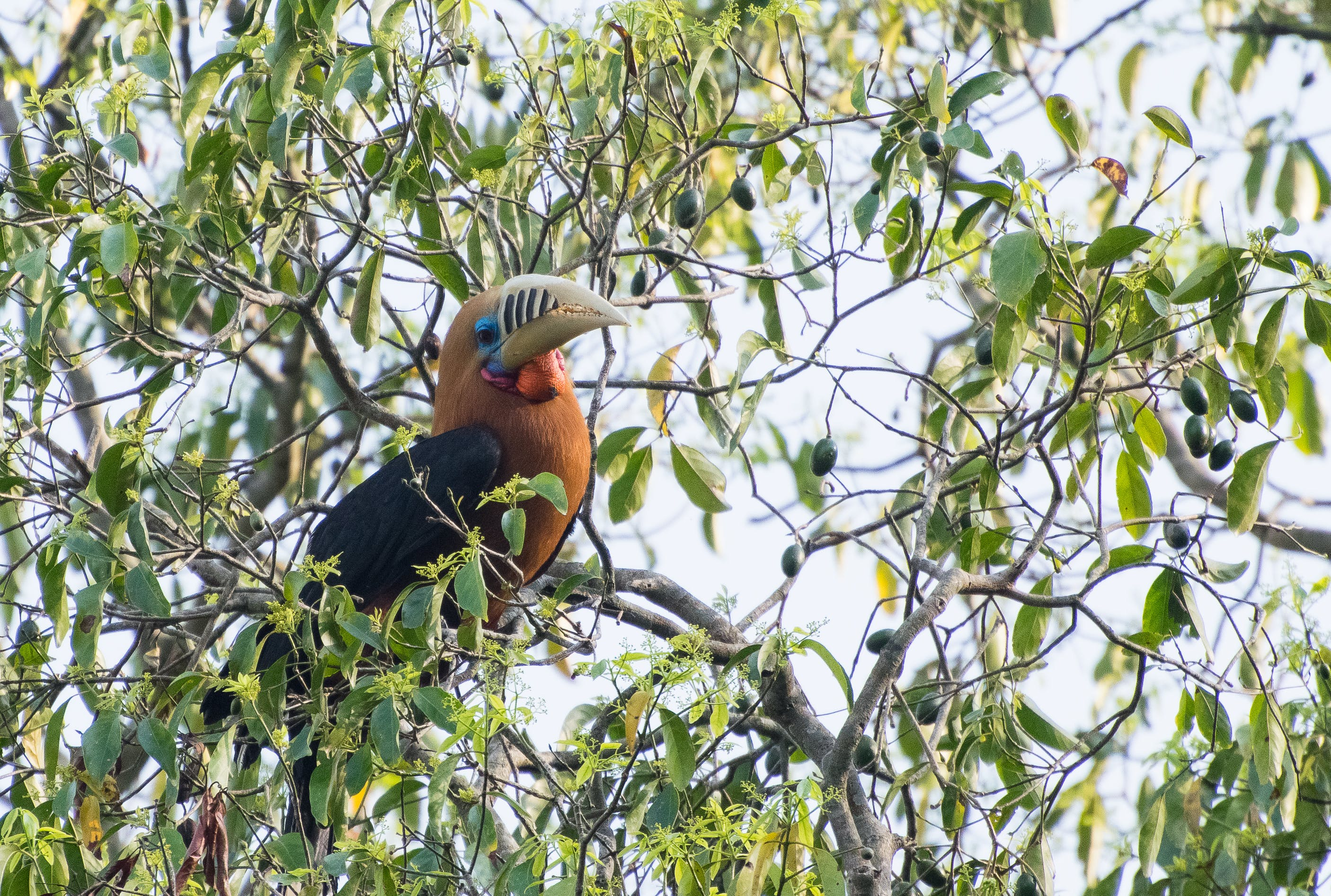 Kostenloses Stock Foto zu baum, großer vogel, grün, hornbill