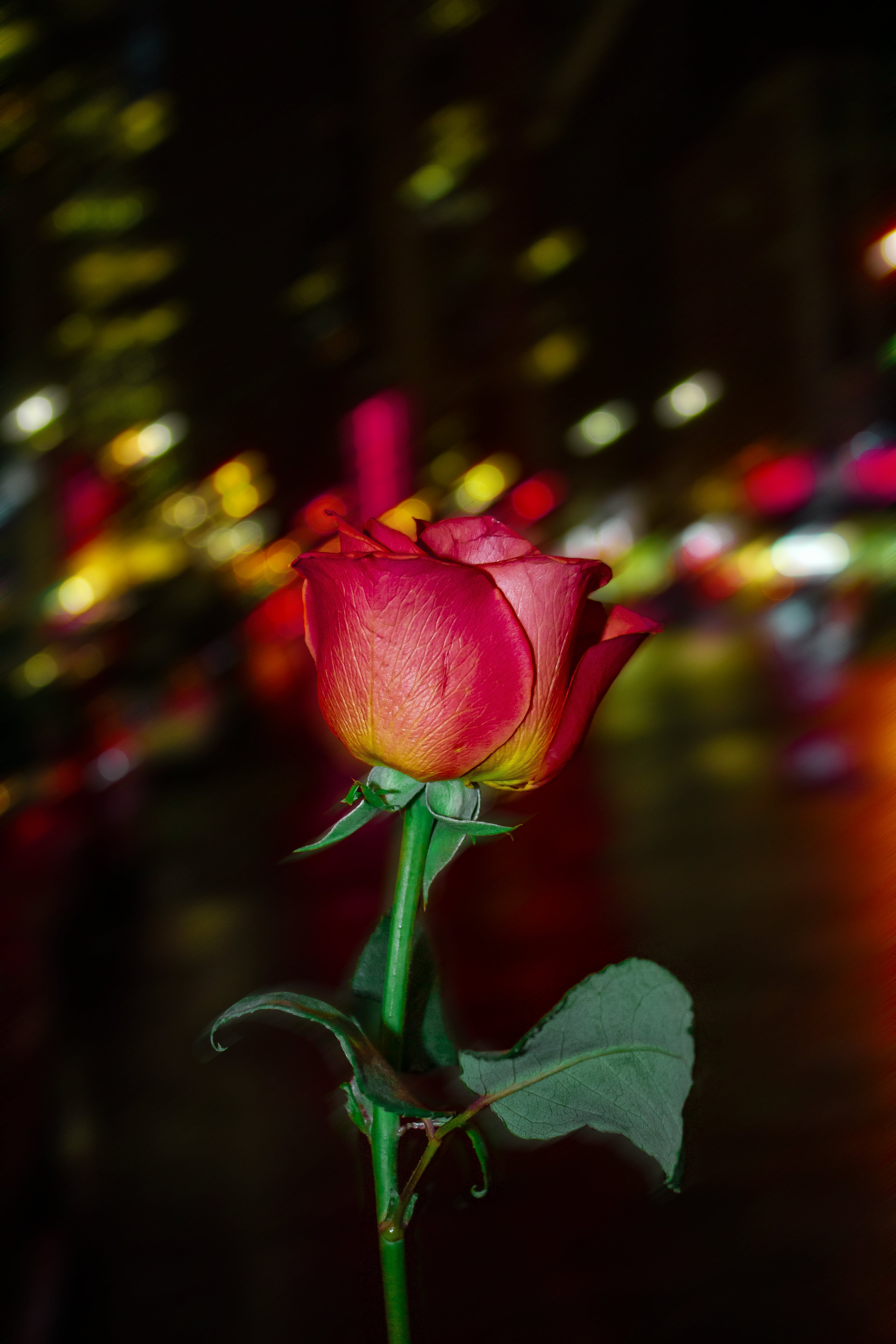Free stock photo of colors, flower, new york city, Red Rose