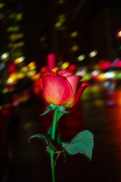 ニューヨーク市, 花, 赤いバラの無料の写真素材