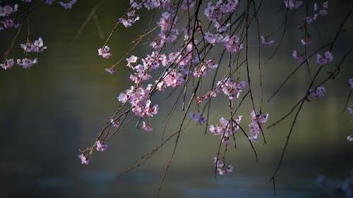 Foto d'estoc gratuïta de flor bonica, flor de cirerer, Sakura