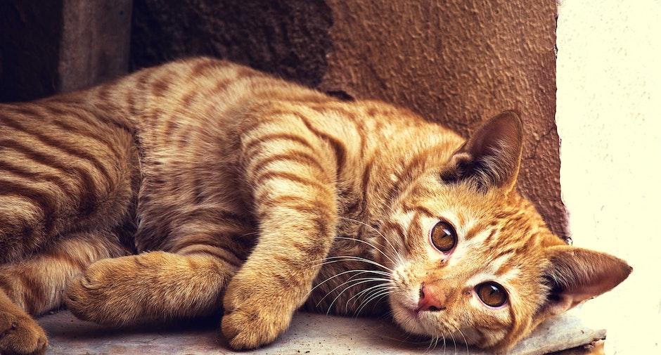 animal, cat, CC0