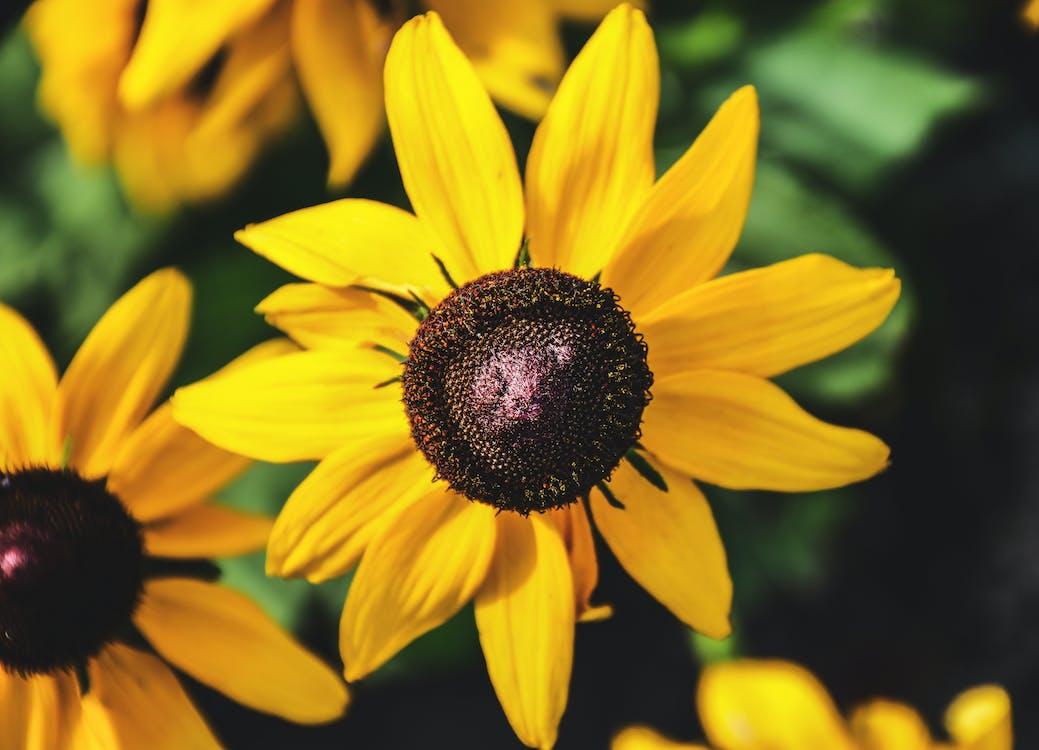 Yellow Blooming Sunflowers