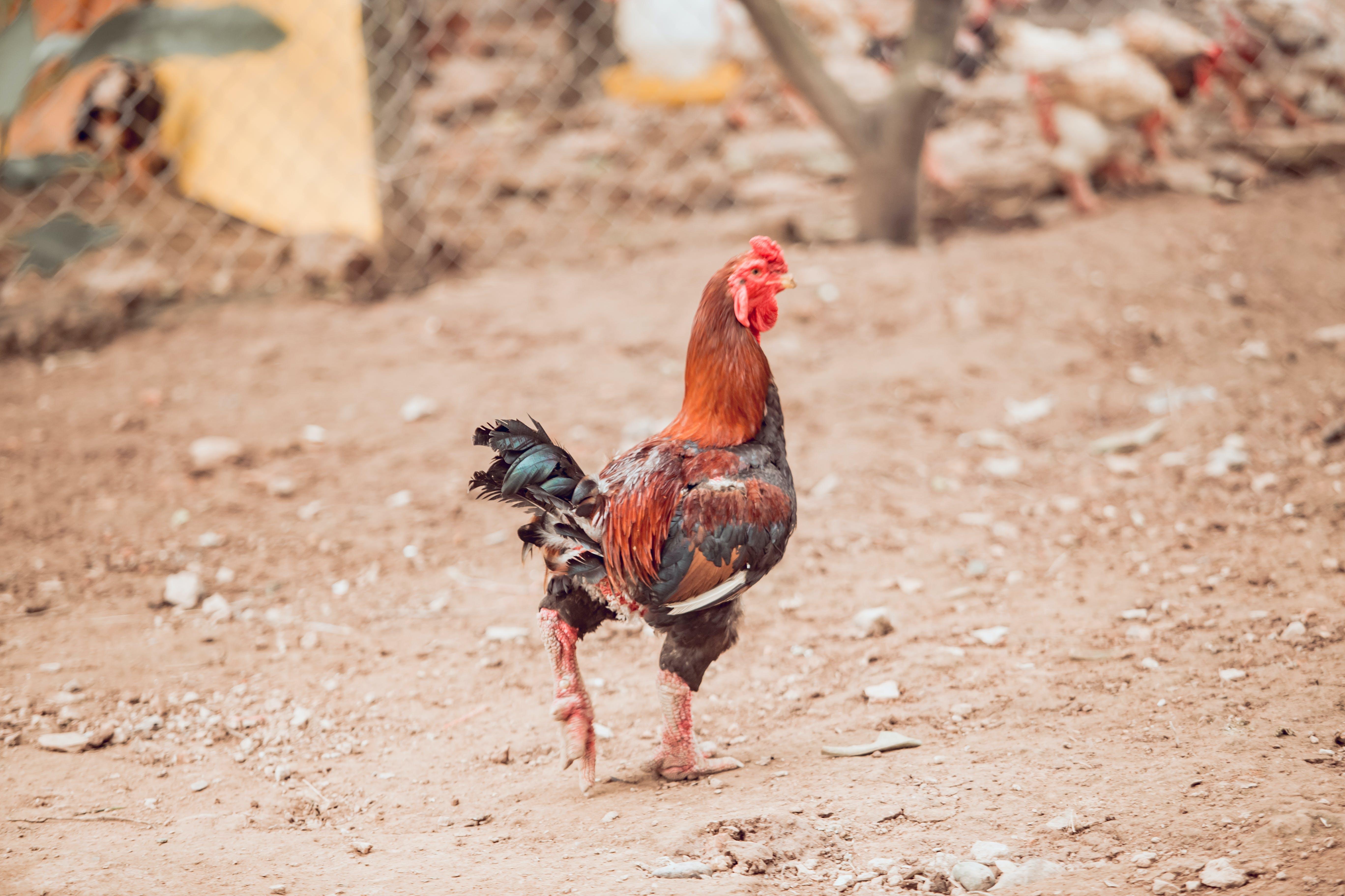 Foto d'estoc gratuïta de animal, animal de granja, animal domèstic, au