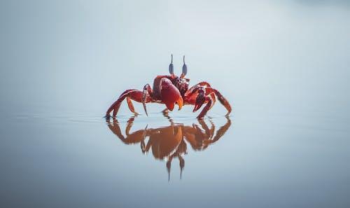 カニ, 動物, 反射, 小さなの無料の写真素材
