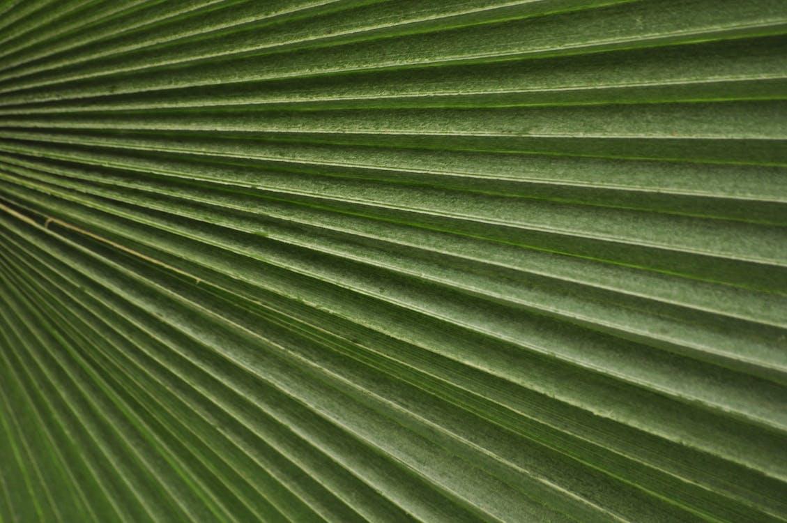 녹색, 야자나무, 엽상체