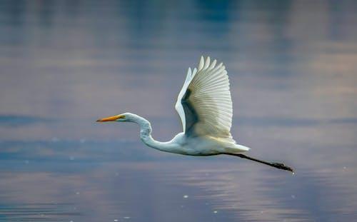 Fotobanka sbezplatnými fotkami na tému lietanie, volavka biela, vták