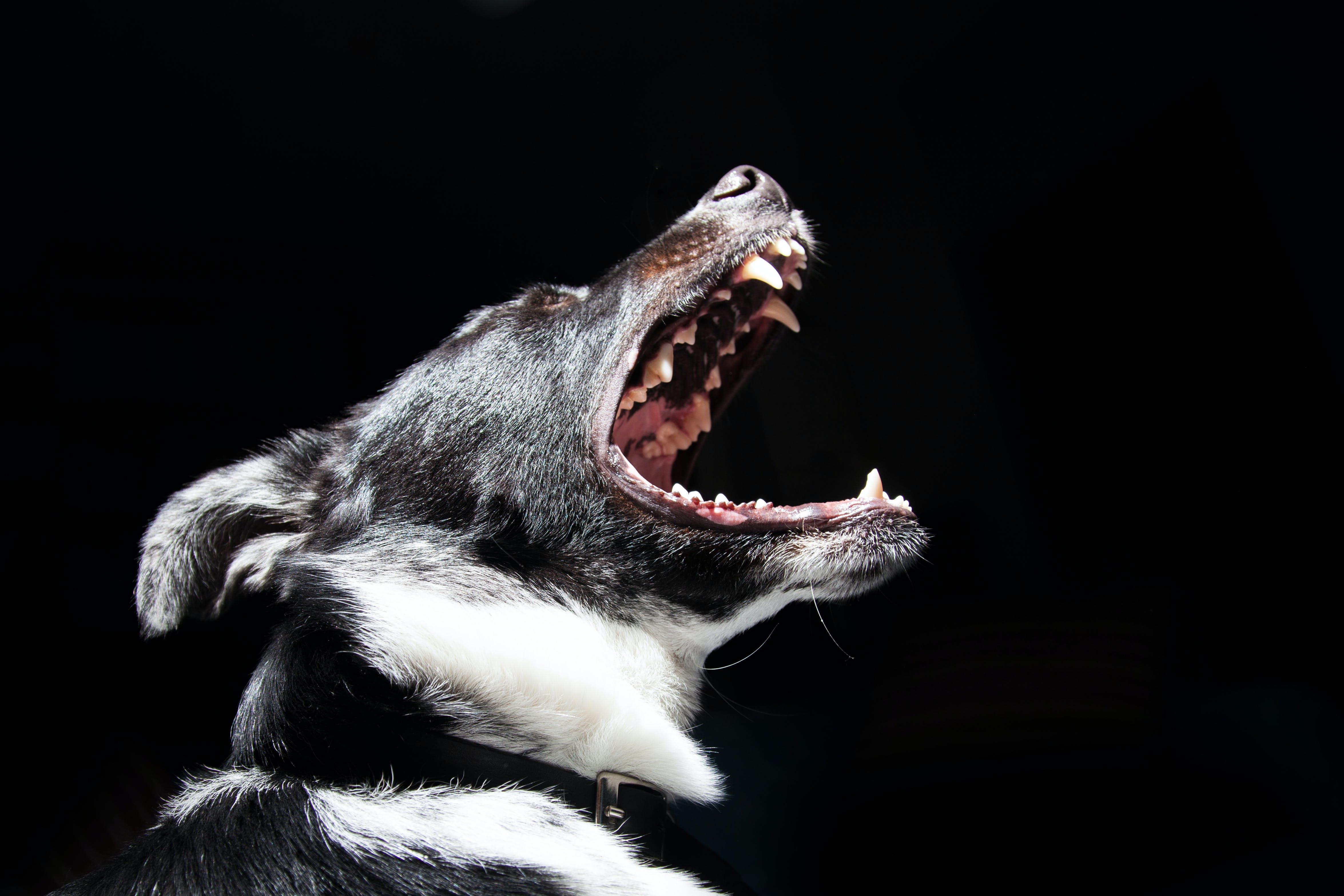 Free stock photo of animal, dog, pet, dangerous