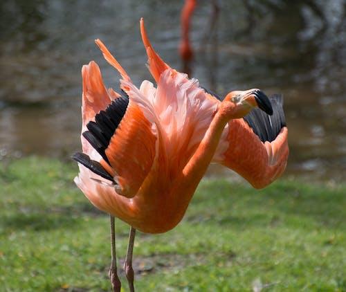 Foto d'estoc gratuïta de ocell flamenc