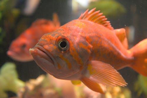 Foto d'estoc gratuïta de peix