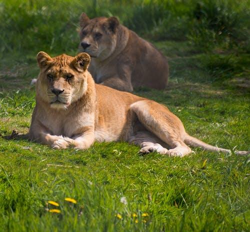 Foto d'estoc gratuïta de lleona, llom