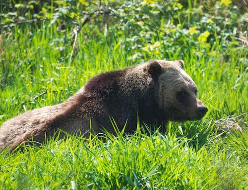Foto d'estoc gratuïta de grizzlies