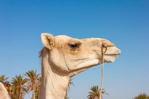 Gratis stockfoto met Arabische kameel, beest, dier, dieren in het wild