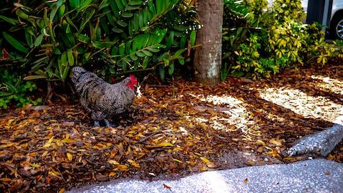 公雞, 希肯, 雞 的 免费素材照片