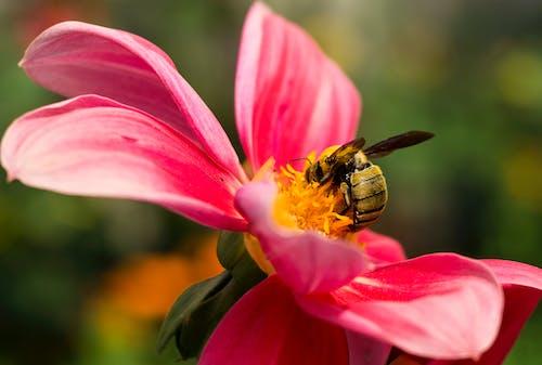 Imagine de stoc gratuită din 50 mm, Adobe Photoshop, albine domestice, floare frumoasa