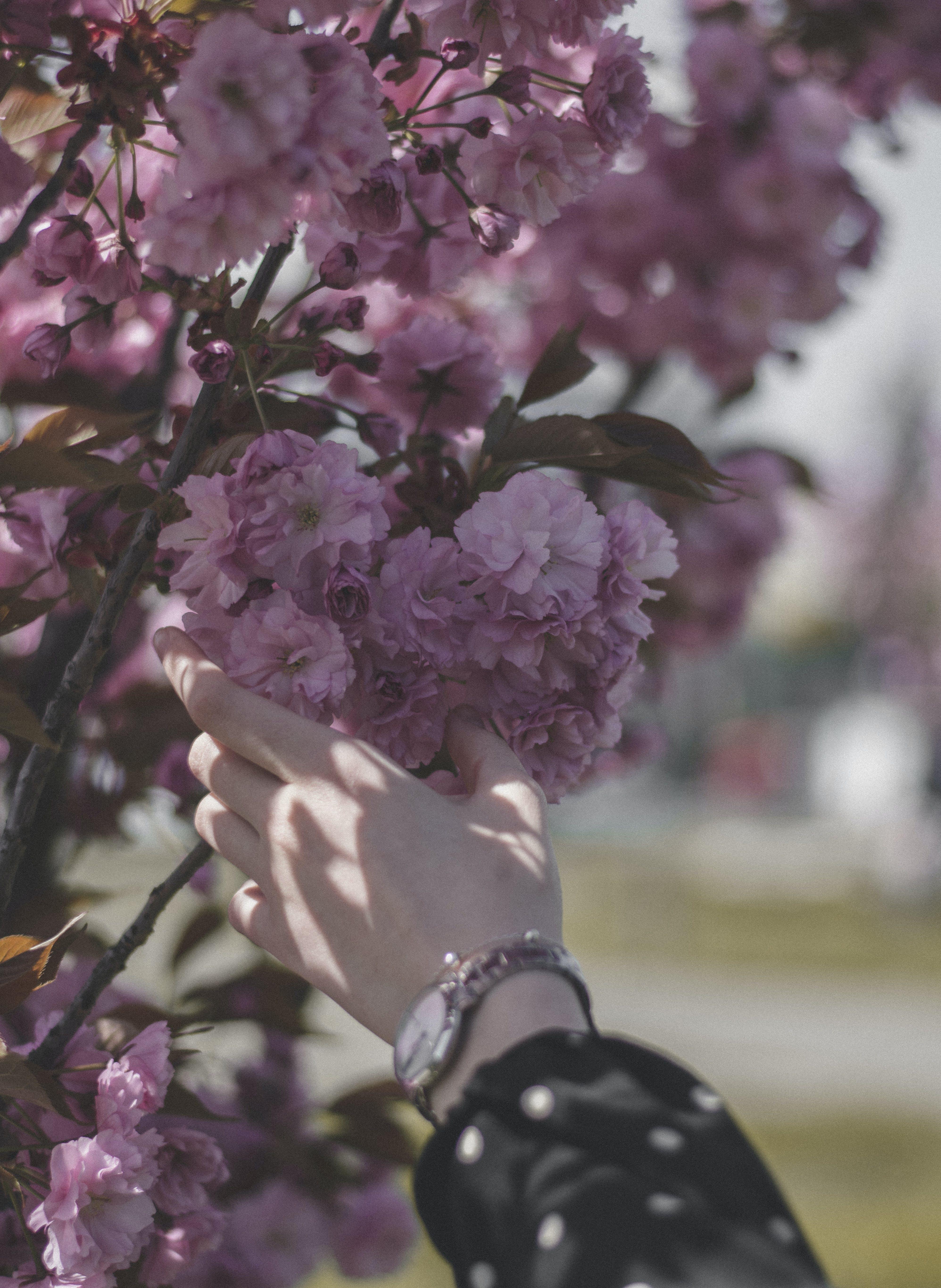 Darmowe zdjęcie z galerii z flora, gałąź, kolor, kwiat wiśni