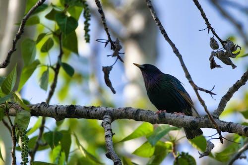 Free stock photo of bird, birding, European Starling, starling