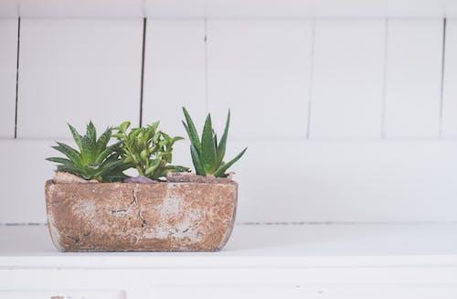 Immagine gratuita di aloe, armadietto, bianco, cactus