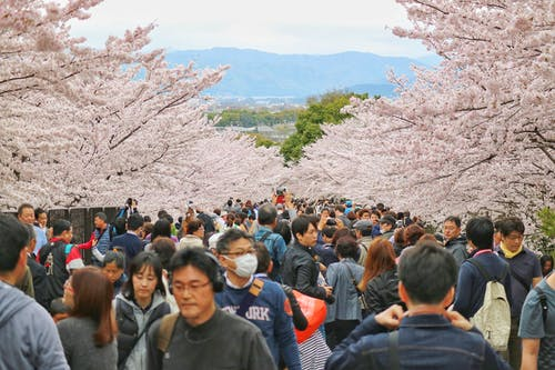 Free stock photo of cherry blossom, cherry blossoms, crowd, crowded