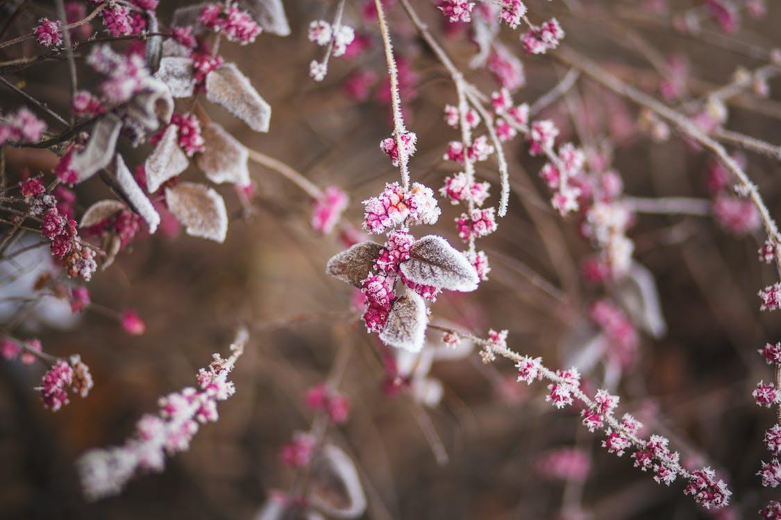 bevroren, frambozen, natuur