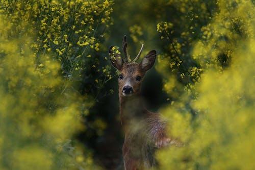 Brown Deer Between Flowers