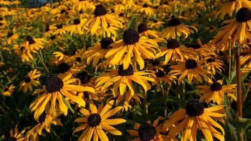 Foto d'estoc gratuïta de flors grogues