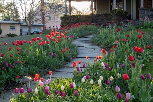 Free stock photo of path, sundown, tulips