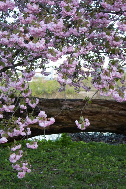 Free stock photo of beautiful flowers, blooming tree, cherry blossoms